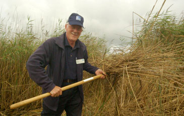 RSPB worker with reeds